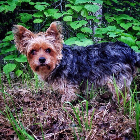 What? Dogoftheday Yorkie YorkieBestShots Dog Staredown Garden Surprised