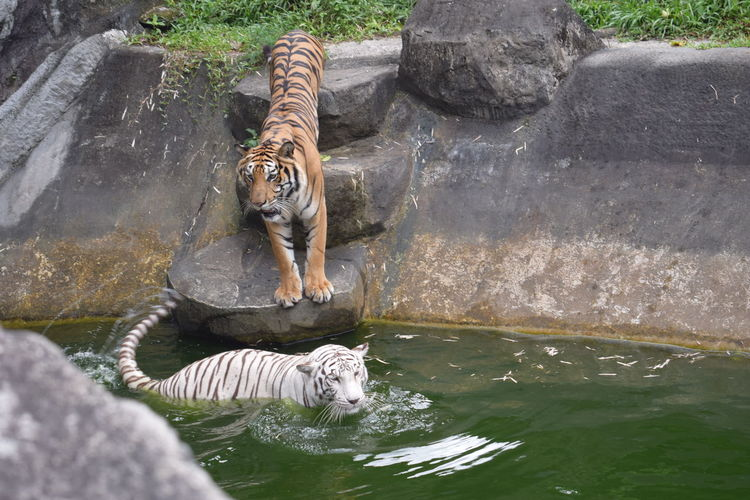 Animals In The Wild Tiger Love Tiger-love Tigers White Tiger Zoo Animal Animal Themes Animal Wildlife Animal_collection Animals Animals In The Wild Day Nature No People One Animal Tiger White Tiger Rare Species White Tigers  Zoo Zoo Animals  Zoophotography