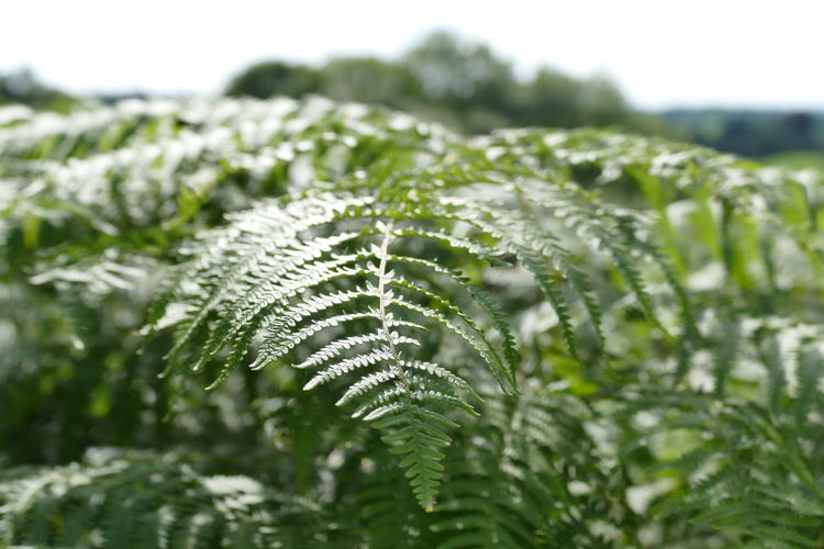 Beauty In Nature Botany Bracken Close-up Color Palette Day Ferns Field Focus On Foreground Fragility Grass Green Green Green Color Growing Growth Landscape Nature No People Outdoors Plant Rural Scene Selective Focus Tranquil Scene Tranquility