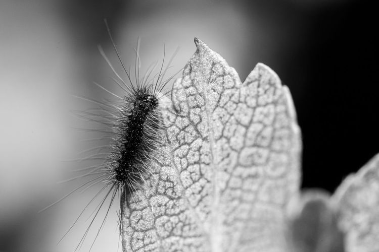Tiny and hairy... Monochrome Black & White Blackandwhite Magnification Detail Larva  Caterpillars  Caterpillar Macro Wildlife & Nature Insect Photography Macro Insects EyeEm Selects Invertebrate Insect Close-up Animal Themes Animal Wildlife Animal Beauty In Nature One Animal Animals In The Wild Nature Focus On Foreground Day Leaf Plant Part Plant Growth