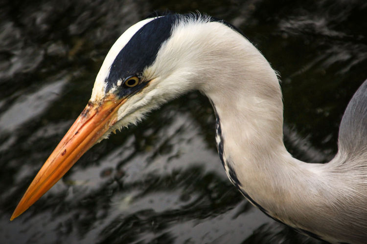Animal Themes Animal Wildlife Animals In The Wild Beak Bird Check This Out Close-up Day EyeEm Gallery Hyde Park Nature No People One Animal Outdoors The Outdoors 2017 EyeEm Awards