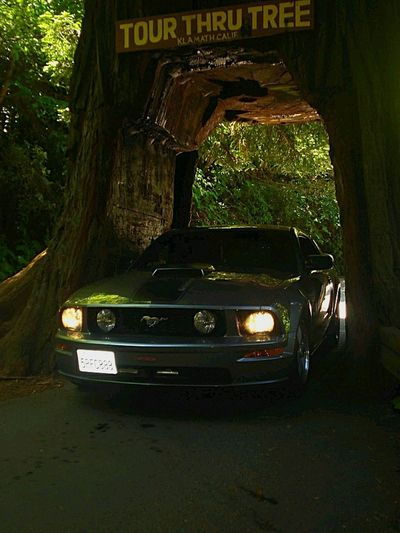 Transportation Tree Outdoors Nature Car Entry Car In Tree Drive-through Tree Drive-through Redwood Tree 2006 Mustang GT In A Tree