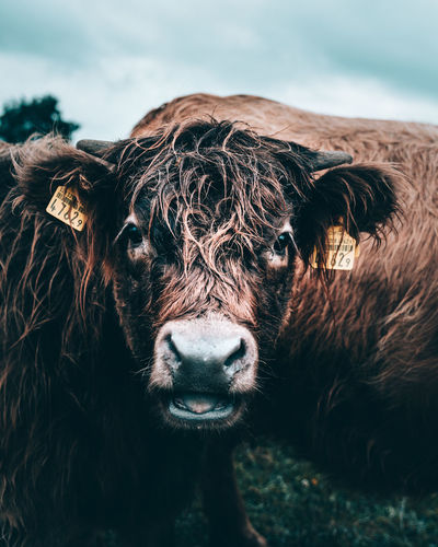 Close-Up Of Cow Looking At Camera
