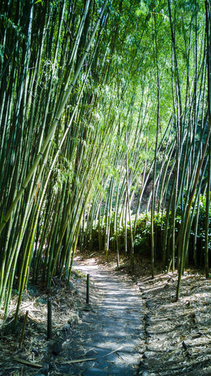 Footpath Amidst Bamboo Plants
