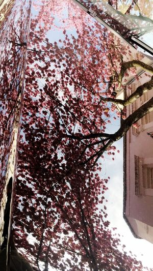 Reflection Cherry Blossoms Car Cherry Blossom Tree Branch Low Angle View Flower Architecture Built Structure Building Exterior Growth No People Nature Blossom Day Fragility Springtime Beauty In Nature Outdoors Freshness Sky Close-up