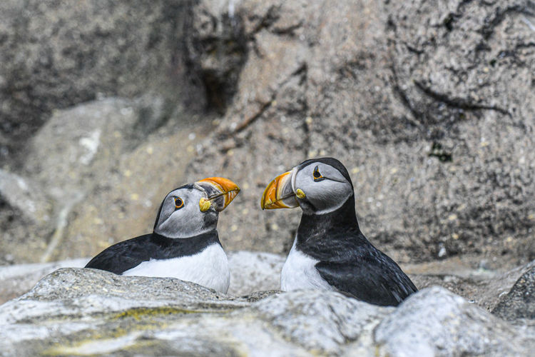 Close-up of puffins on rock
