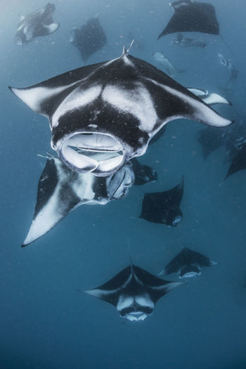 Wide angle view of a school of manta rays, baa atoll