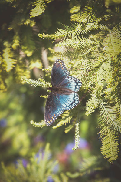 Animal Themes Animal Wildlife Animals In The Wild Beauty In Nature Blue Butterfly Butterfly Butterfly - Insect Close-up Day Fragility Idyllic Idyllic Scenery Insect Nature No People One Animal Outdoors Tree