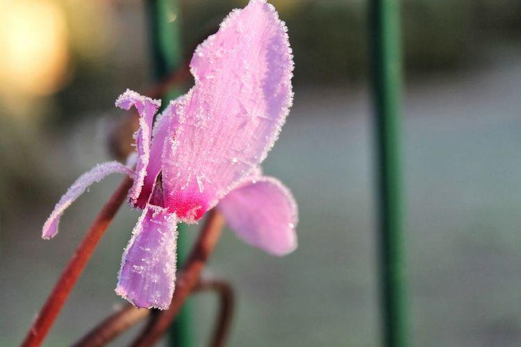 Pastel Power Flowerporn Flowers,Plants & Garden Winter Taking Photos Enjoying Life