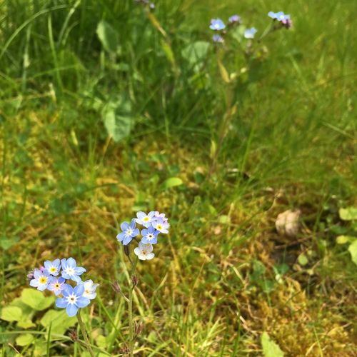Small purple flowers in the garden Beauty In Nature Blooming Blossom Blue Botany Close-up Day Flower Flower Head Focus On Foreground Forget Me Not Fragility Freshness Green Color Growth In Bloom Nature No People Outdoors Petal Plant Purple Selective Focus Small Flower Stem