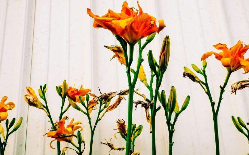 Orange flowers blooming on plant against wall