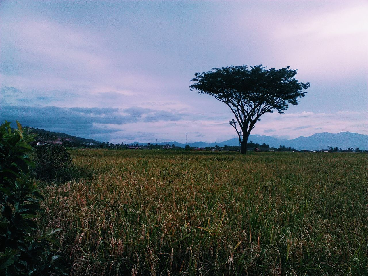 tranquility, tree, tranquil scene, landscape, nature, beauty in nature, scenics, sky, field, solitude, growth, no people, outdoors, grass, lone, day