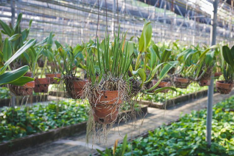 Close-up of potted plants in greenhouse