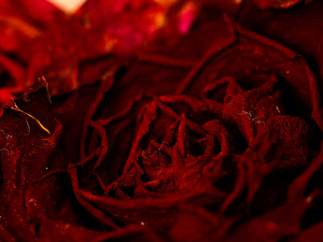 Canon EOS 600D mit Yongnuo 50mm 1.8.. Close-up Shotwithlove Yongnuo Colors_of_day Tv_flowers Magic_marvels Jacquelineschreiber Moody_nature Indoor_photograhy Eyeemoninstagram Roses Red Rose Macro Macro Photography Macro_collection Dofnature Explore_dof Canonglobal Canon600D Red Full Frame Close-up Sweet Food Food And Drink