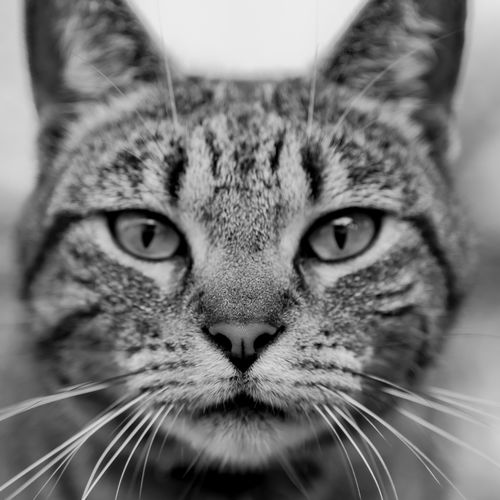 Schnapps the cat Animal Themes Close-up Day Domestic Animals Domestic Cat Feline Indoors  Looking At Camera Mammal No People One Animal Pet Pets Portrait Portraiture Whisker EyeEmNewHere Black And White Friday