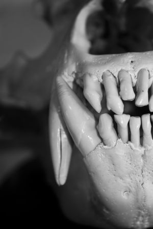 Blackandwhite Close-up Death Exhibition Focus On Foreground Fugacity Museum Museum Of Natural History Ready-to-eat Skull Stop Hunting Teeth