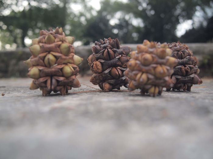 Close-up of pine cones  in a row