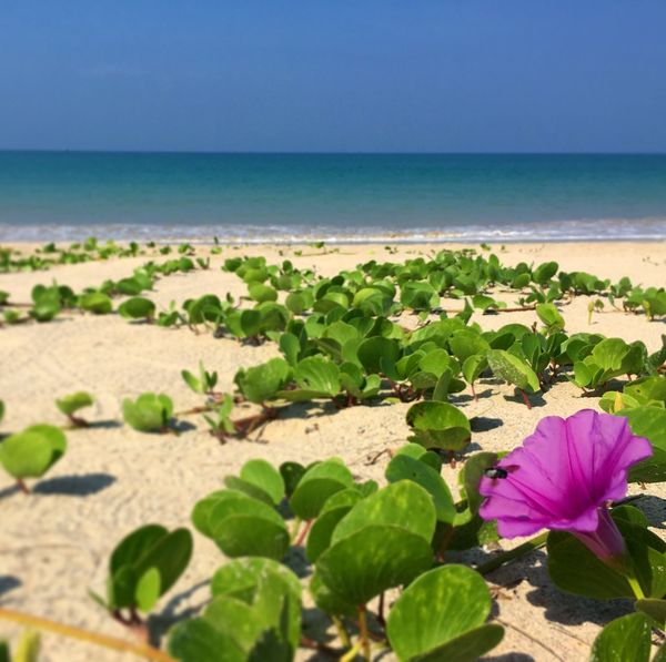Sea Beauty In Nature Nature Horizon Over Water Flower Water Beach Scenics Tranquil Scene Plant Tranquility Day Leaf No People Freshness Outdoors Growth Green Color Sand Fragility Thailand_allshots Thailand