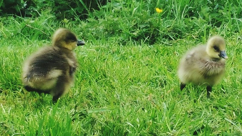 Goose Chick Chick Baby Bird Baby Chick