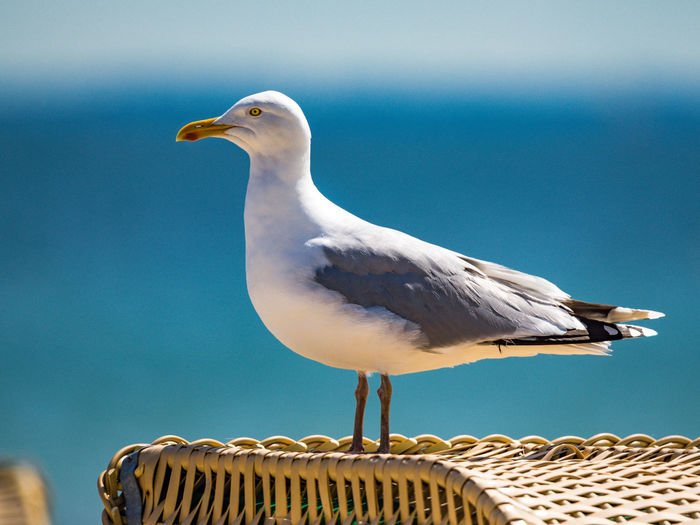 Seagull perching on wicker chair