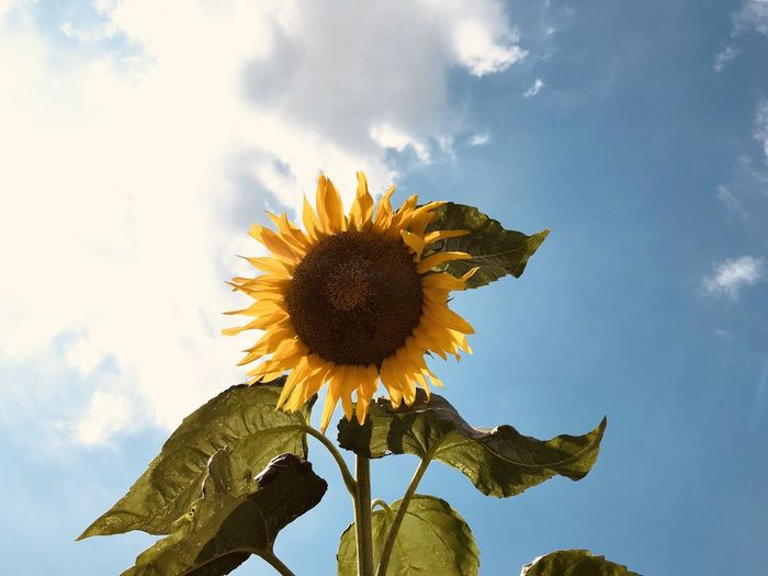 Low angle view of sunflower against sky