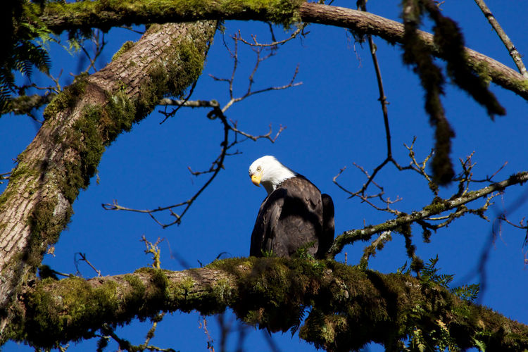 Tree Branch One Animal Animals In The Wild Animal Themes Animal Wildlife Sky Nature Day No People Eagle Blue Outdoors Bald Eagle Perching Bird Sunlight Plant Animal