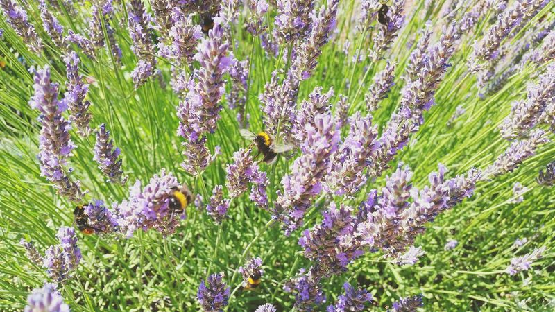 Lavander and bumblebees in Düsseldorf Gerresheim, Germany Lavanda Lavander Bees Bumblebee Bumble Bee Bee Nature On Your Doorstep