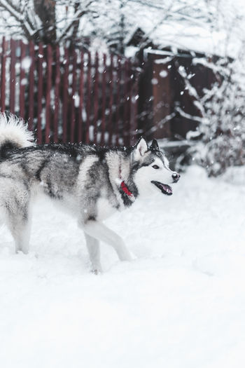Husky Snow Animal Winter Cold Temperature Animal Themes Mammal Dog Vertebrate Canine One Animal Domestic Animals Domestic Pets Sled Dog Land Nature White Color No People Field Outdoors Snowing Snowcapped Mountain