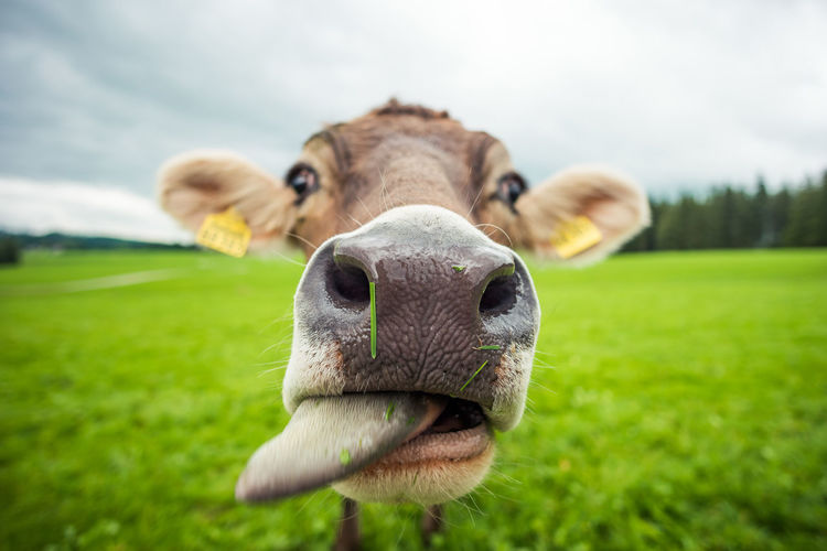 closeup of cow looking into the camera Animal Themes Close-up Cow Cows Day Domestic Animals Domesticated Animal Tag Field Focus On Foreground Grass Green Color Livestock Looking At Camera Macro Mammal Nature No People One Animal Outdoors Portrait Sky