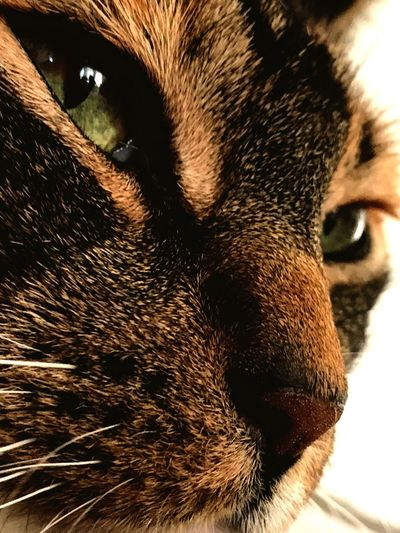 One Animal Pets Animal Themes Domestic Animals Animal Head  Close-up Mammal Animal Body Part No People Domestic Cat Whisker Portrait Dog Cat Feline Green Color Cat Eyes Full Frame Indoors  Day Nature