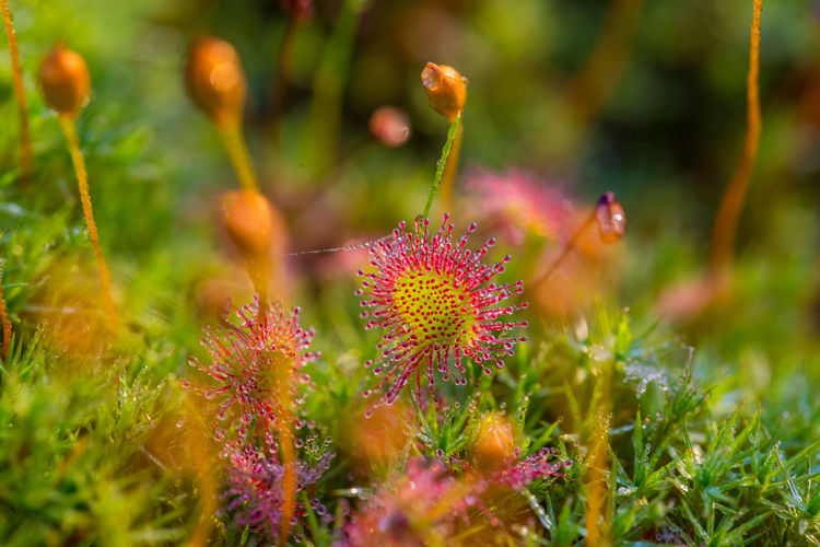 Beautiful small sundews growing in a natural swamp habitat. Spring sceney of wetlands flora in Latvia, Northern Europe. Swamp Wetland Close-up Nature No People Outdoors Plant Sunderland