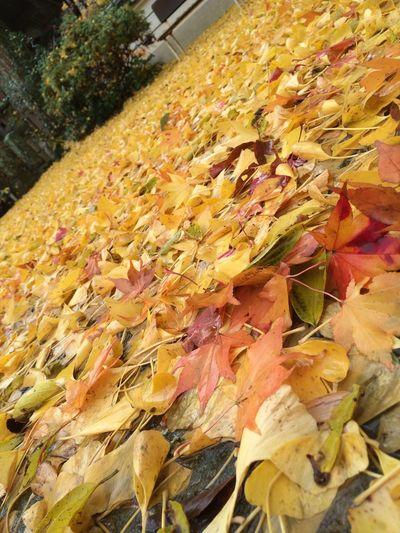 公孫樹の絨毯