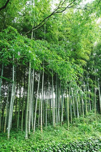 Green Color Growth Nature Tree Grass Beauty In Nature Outdoors Lush Foliage Day Forest Tranquility No People Bamboo - Plant Bamboo Grove Scenics クレマチスの丘 色鮮やか Japan 風景 Freshness Beauty In Nature Japan Photos Plant Lush - Description Freshness