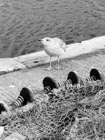 Wildlife Bird Photography Bird Birds_collection Birds Seagull Seagulls Seagulls And Sea Seagulls At The Lake Water One Animal sea Seagulls At The Harbour Water Bird Blackandwhite Blackandwhite Photography Black And White Photography Black And White Black & White
