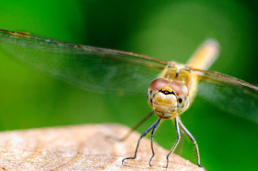 Dragonfly Macro Beauty Macro Photography Animal Eye Animal Themes Animal Wing Close-up Dragonfly_of_the_day Focus On Foreground Green Color Insect Invertebrate Macro Macro Nature Macro_collection Outdoors