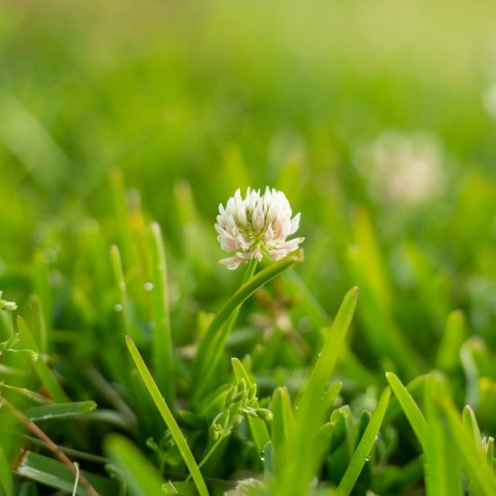 Close-up of white flower blooming on field