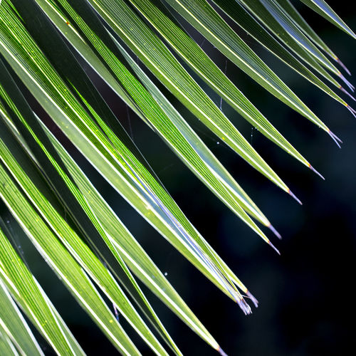 Close up photo of green palm tree leaf on dark background, sunlight effect Growth Plant Beauty In Nature Leaf Green Color Nature Focus On Foreground No People Plant Part Day Close-up Tree Palm Tree Outdoors Natural Pattern Palm Leaf Pattern Palm Leaf Dark Background Backgrounds Nature_collection Tranquility Botany Full Frame Blade Of Grass Bamboo - Plant 17.62° My Best Photo