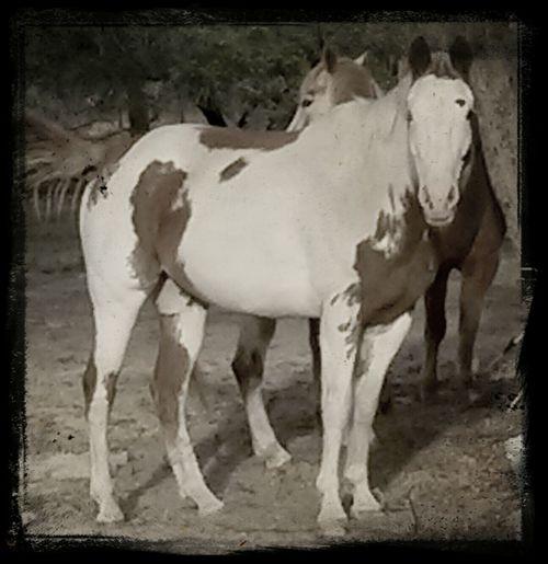 Painthorse Horses Horse <3 Pet Lover