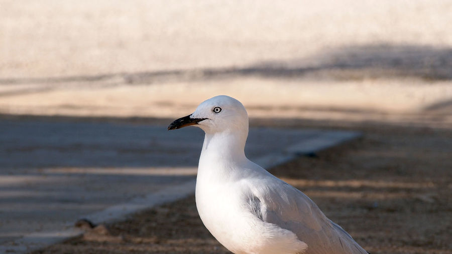 Close-up of seagull perching on sea shore