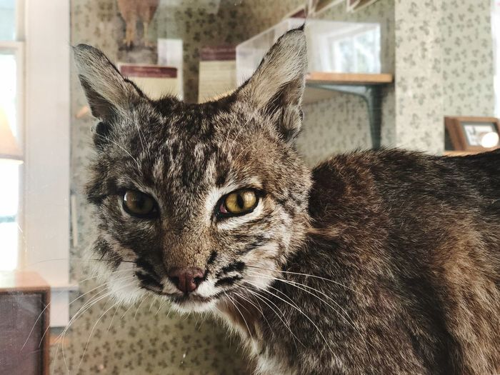 Taxidermy Bobcat Mammal Animal Whisker Close-up Portrait