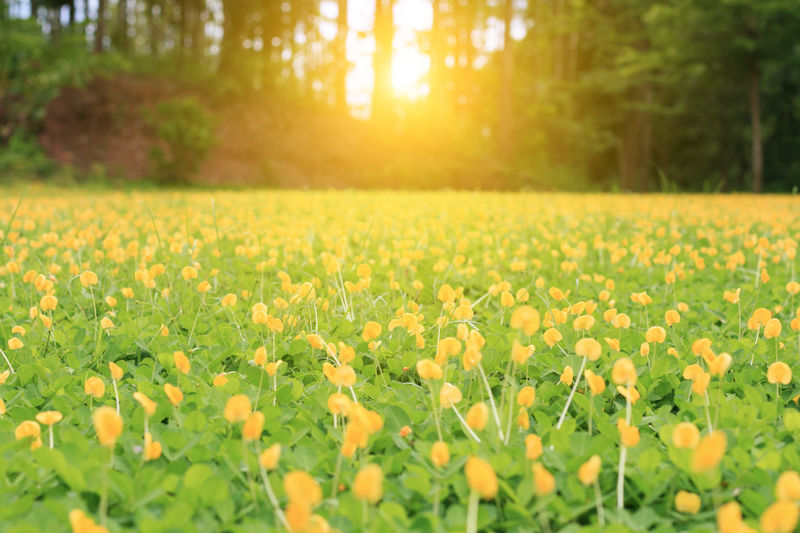 Beauty In Nature Bright Day Field Flower Flower Head Flowering Plant Fragility Freshness Green Color Growth Land Landscape Lens Flare Nature No People Outdoors Plant Scenics - Nature Selective Focus Sun Sunlight Tranquility Vulnerability  Yellow