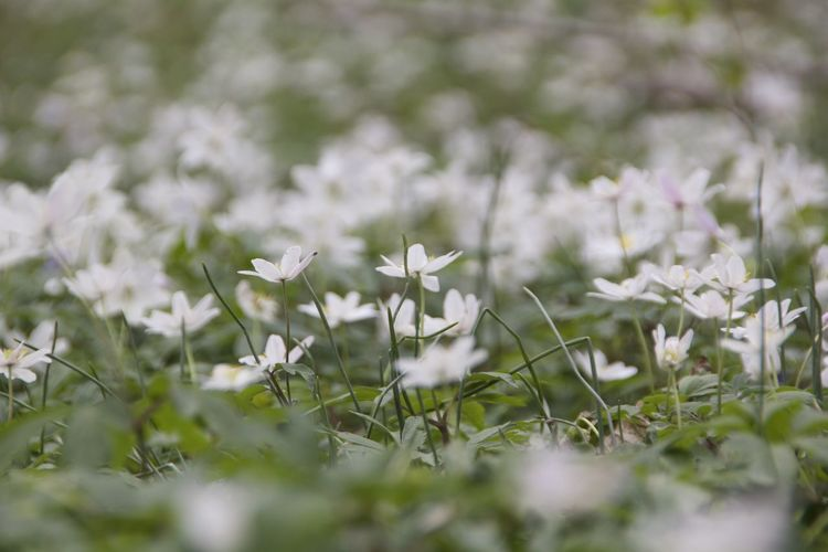 Beauty In Nature Blooming Field Flower Grass Growth Snowdrops