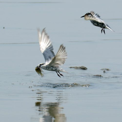 Tern Flying With Fish In Mouth Over Lake
