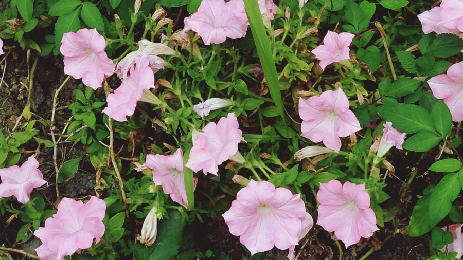Flower Flower Head Leaf Pink Color Petunia High Angle View Periwinkle Close-up Plant Green Color In Bloom Flowering Plant Plant Life Blooming