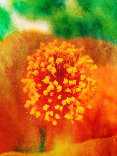 Abutilon flower Abutilon Anther Beauty Bloom Colour Colourful Colours Flower Flowers Golden IPhoneography Nature Orange Petal Petals Plant Pollen Softness Stamen Victoria Gardner Yellow