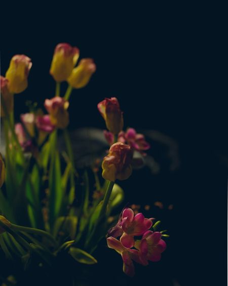 EyeEm Selects Flowers Bouquet Dark Photography Dark And Moody Indoors  Pink Color Yellow Flower Tulips Spring Spring Mood Spring Flowers Still Life