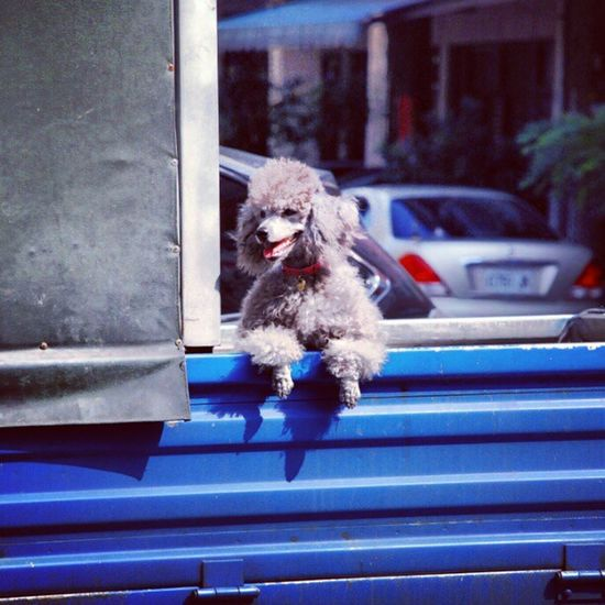 Pudel Dog Puppie Chillaxe chilling back of a truck instamood instagramtaiwan instadog instacute mytravelgram asia snapshot south taiwan sunny day colour colourporn explore taizhong igers igerstaiwan instagramtaiwan