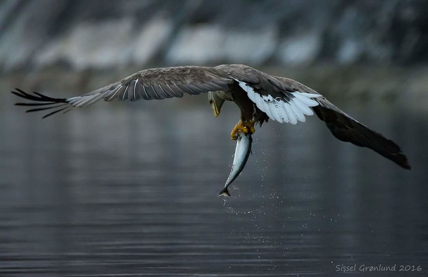 A wild sea eagle in a Norwegian fjord. Flying Animal Wildlife Bird Spread Wings Bald Eagle Animals In The Wild Outdoors No People Eagle Eagle - Bird Eagles Eagle In Flight Eagle Photography