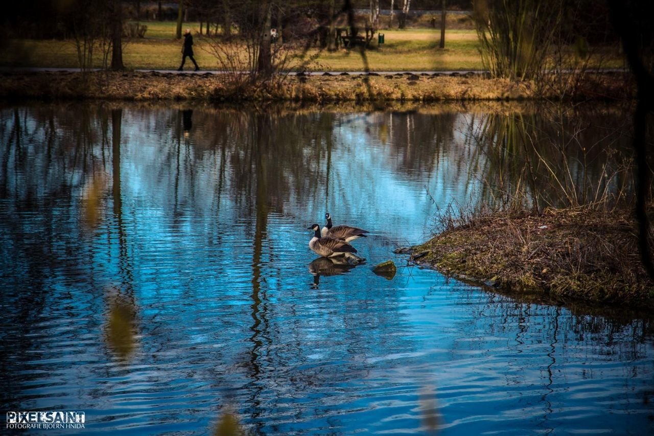 water, one animal, lake, reflection, animal themes, animals in the wild, swimming, waterfront, nature, outdoors, bird, no people, day, beauty in nature, mammal, tree, swan