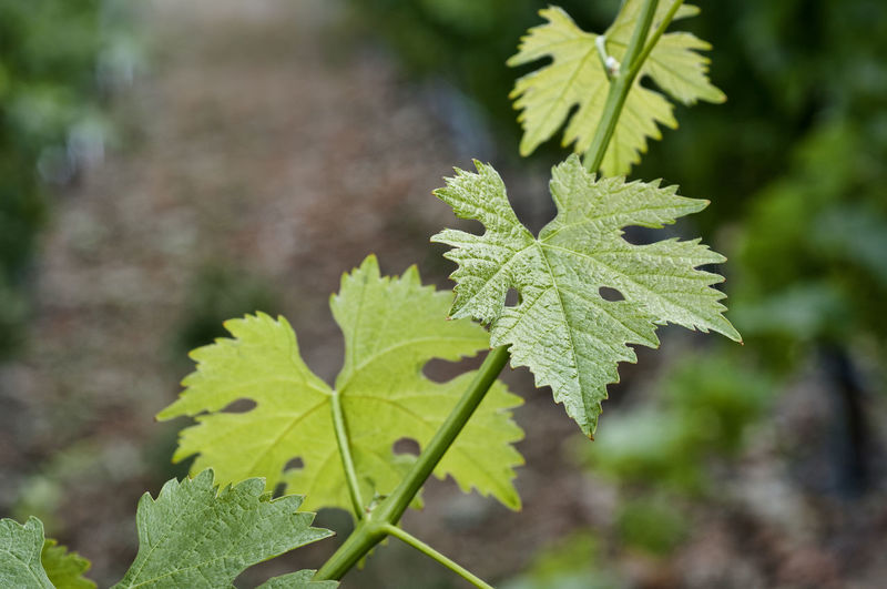 Grapevine in vineyard Plant Growth Focus On Foreground Leaf Close-up Plant Part Nature Green Color Beauty In Nature No People Outdoors Leaf Vein Selective Focus Sunlight Leaves Grapevine Vineyard